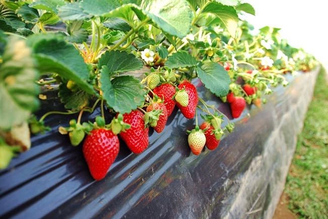 yangsuri-strawberry-farm-3