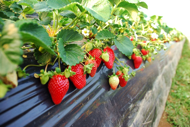 yangsuri-strawberry-farm-3