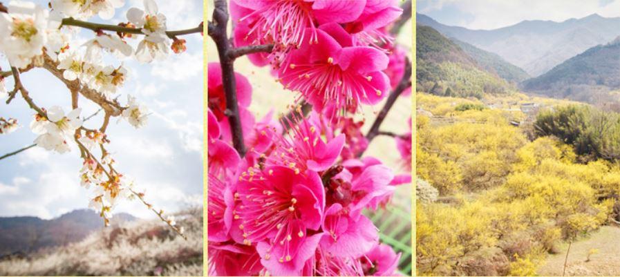 Early Spring Flower Festival Jeonju Food Hanok Village Tour